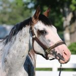 Yes, She's A Thoroughbred: Starresha Is Woodbine's Most Famous Maiden