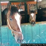 Induced Lactation in Mares: A Viable Option, Free Of Nurse Mare Foals